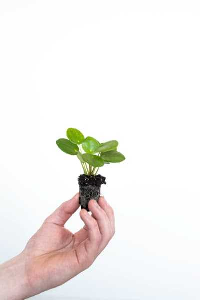 Find the Pilea Peperomioides for sale